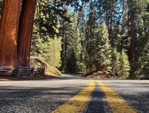 Riesige Sequoia Mammubäume entlang der Avenue of Giants