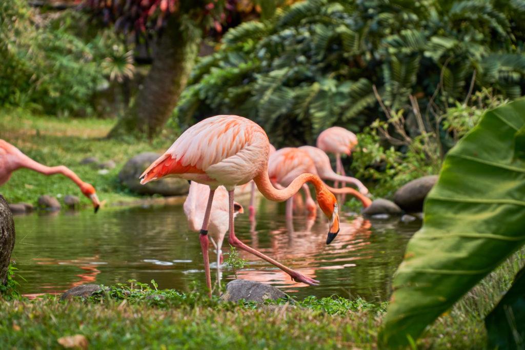 Flamingos im Botanischen Garten Deshaies