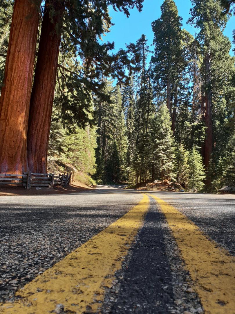 Straße im Sequoia Nationalpark gesäumt von Mammutbäumen.