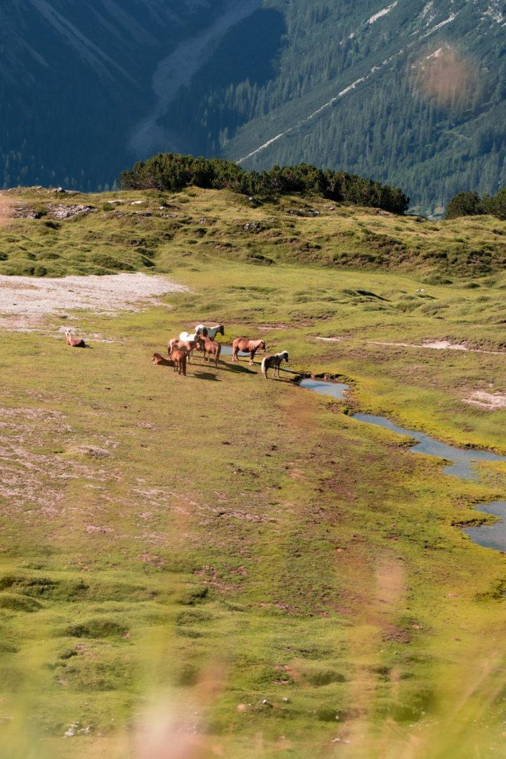 Wilde Pferde auf der Weide.