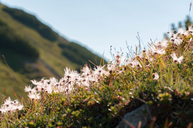 Hüttenwanderung vom tannheimer Tal zum Schrecksee: Blumen im Abendlicht.