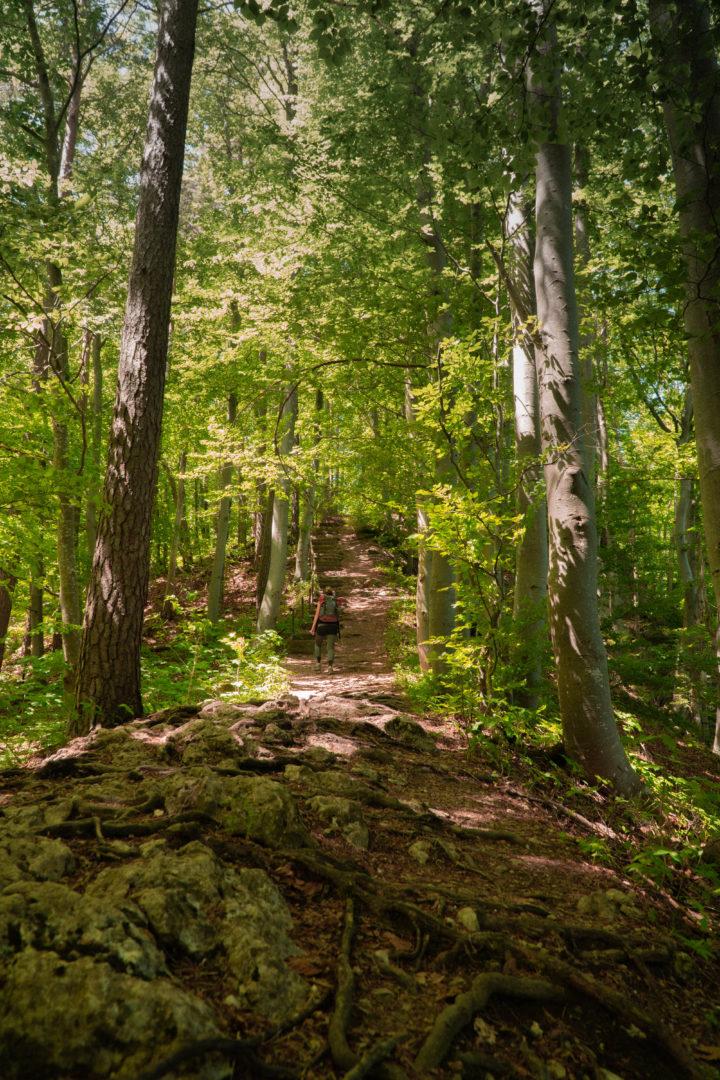 Über Wurzeln uns Steine geht ein Wanderer den Albtrauf hinauf.