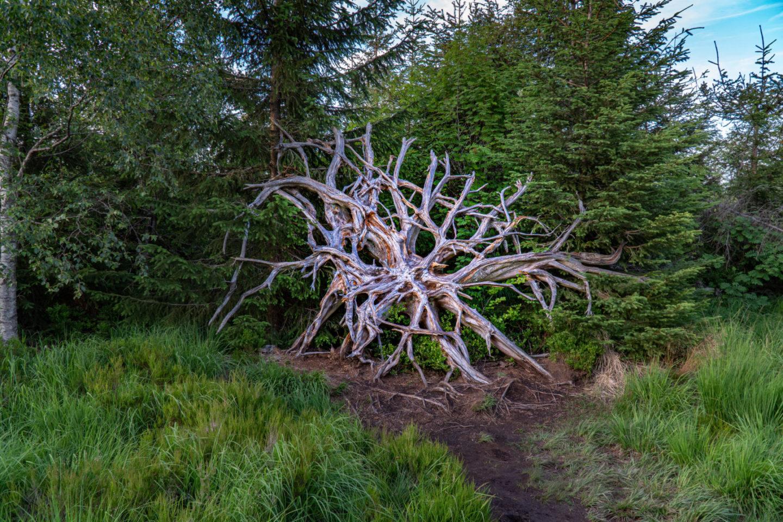Wurzeln eines umgestürzten Baumes am Lotharpfad durch das Hochmoor an der Schwarzwaldhochstraße.