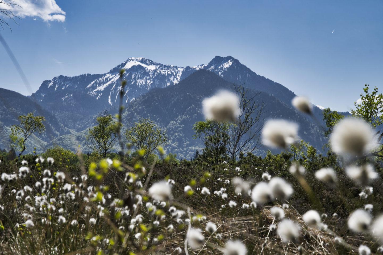 Ausflug am Chiemsee: Radtour am Grabenstätter Moos. Zu sehen: Bergpanorama mit weißen Blumen im Vordergrund.