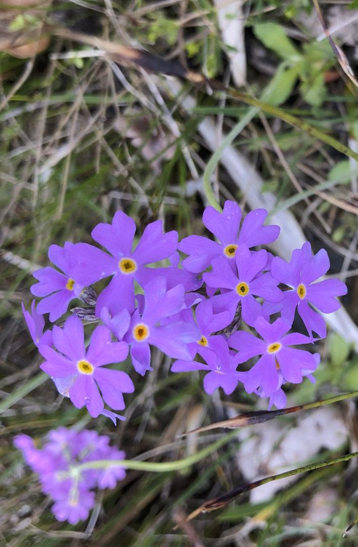 Frühlingsprimeln am Chiemsee.