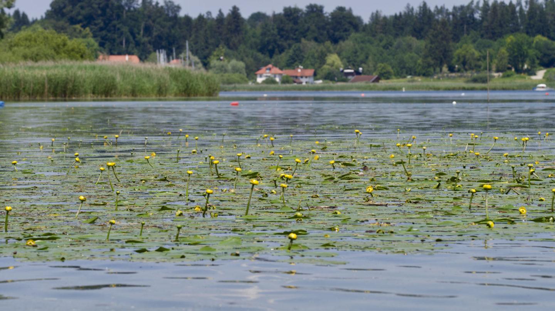 Ausflugsziel Chiemsee: Schafwacher Bucht bei Rimsting. Zu sehen: Chiemsee mit gelben Seerosen, dahinter das Ufer mit einem Bauernhaus.