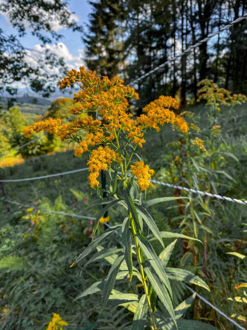 Die schönsten Herbstwanderungen im Bayerischen Wald: Gelb leuchtende Herbstblumen im Wald.