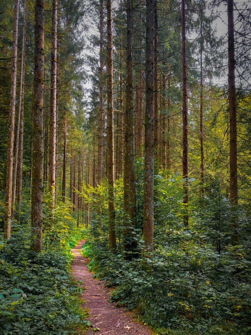 Hohe Tannen mit Waldpfad im Bayerischen Wald